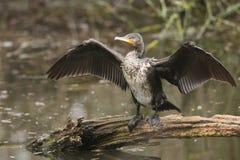 Ett nätt anseende för kormoranPhalacrocoraxcarbo på en inloggning mitt av en sjö som viftar med dess vingar, når att ha jagat und arkivfoto