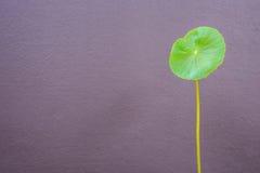 Ett nytt blad av Centella den asiatica växten på grå väggbackgroun fotografering för bildbyråer