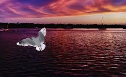Ett oavkortat flyg för vibrerande vit seagull med en mörk malvafärgad soluppgångseascapebakgrund Royaltyfri Foto