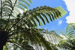 Ett ormbunketräd mot ljus blå himmel, en typisk nyazeeländsk skog arkivfoton