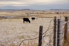 Ett oskarpa staket och kor Arkivbild