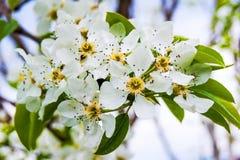 Ett päronträd med vita blommor, en ljus vårday_ Fotografering för Bildbyråer