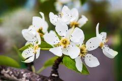 Ett päronträd med vita blommor, en ljus vårday_ Royaltyfri Foto