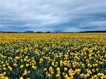 Ett Panoramiic hav av gula Daffodis arkivbild