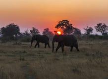 Ett par av afrikanska elefanter silhouetted mot inställningssolen i Botswana royaltyfri fotografi