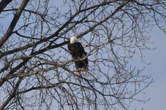 Ett par av amerikanska skalliga Eagles på varning royaltyfria bilder