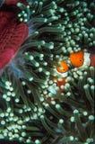 Ett par av anemonfisken kura ihop sig in i en anemon i Solomon Islands Royaltyfria Foton