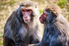 Ett par av apor Arkivfoto