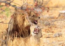 Ett par av att para ihop lejon i den Etosha nationalparken Royaltyfria Bilder