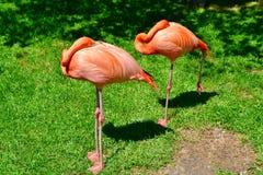 Ett par av att sova flamingo royaltyfria bilder
