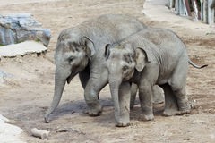 Ett par av behandla som ett barn asiatiska Zooelefanter Royaltyfria Bilder