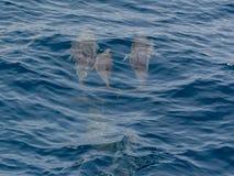 Ett par av delfin arkivbild