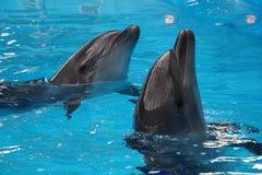 Ett par av delfin Arkivfoto