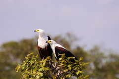 Ett par av den afrikanska fisken Eagles upptill av ett träd Fotografering för Bildbyråer