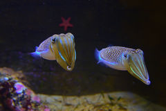 Ett par av den gulliga sörjande bläckfisken med den röda sjöstjärnan i bakgrunden royaltyfria foton