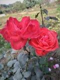 ett par av den röda rosen royaltyfria bilder