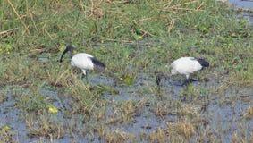 Ett par av den sakrala ibits, Botswana Royaltyfri Fotografi