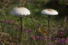 Ett par av den stora ett slags solskydd plocka svamp i heathland royaltyfri fotografi