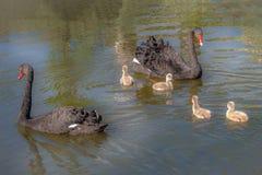 Ett par av den svarta svanen med fyra unga svanar arkivfoto