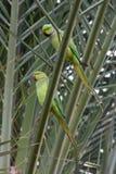 Ett par av denRinged parakiter arkivfoton