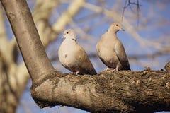 Ett par av duvor som sitter på en trädfilial Arkivbild