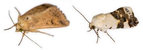 Ett par av europeiska malar som isoleras över vit bakgrund Arkivfoton