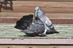 Ett par av fåglar - duvor royaltyfri bild