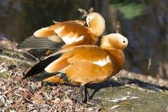 Ett par av fåglar trä för song för grouseförälskelsenatur wild Familjfåglar Arkivbild