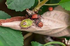 Ett par av firebugs på ett blad Fotografering för Bildbyråer