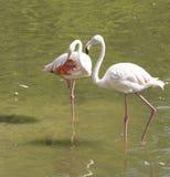 Ett par av flamingo Arkivbild