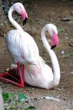 Ett par av flamingo Arkivbilder