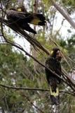 Ett par av Guling-tailed svart kakaduasammanträde i ett träd arkivbild