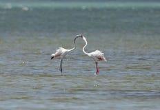 Ett par av härlig stor flamingokurtis Royaltyfri Bild