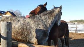 Ett par av hästar som visar affektion Vit- och brunthästkel stock video