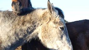 Ett par av hästar som visar affektion Vit- och brunthästkel arkivfilmer