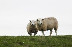 Ett par av hållande ögonen på får, Nederländerna Arkivbilder