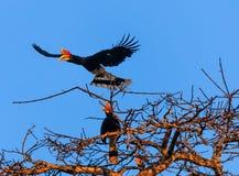 Ett par av hornbills över djungeln på gryning Arkivfoto