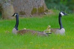Ett par av Kanada som gässen skyddar deras, behandla som ett barn Fotografering för Bildbyråer