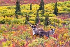 Ett par av karibu i höst i den Denali nationalparken i Alaska royaltyfri foto