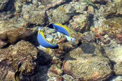 Ett par av kirurgen Fish för pulverblått Royaltyfri Bild