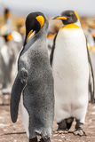Ett par av konungpingvin Royaltyfria Bilder