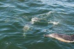 Ett par av långa näbbformiga gemensamma delfin på kusten av Gansbaai Royaltyfri Bild
