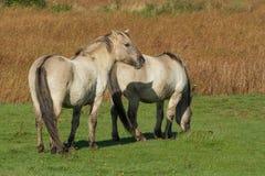 Ett par av lösa Konik hästar Arkivfoto