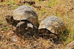 Ett par av lösa sköldpaddor royaltyfri foto