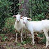 Ett par av lamm Arkivfoton