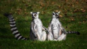 Ett par av lemures sitta gras Royaltyfri Fotografi