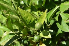 Ett par av limefrukter på trädet som omges av sidor royaltyfri fotografi