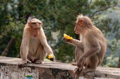 Ett par av macaques som skjuter brisen över deras citrussy mellanmål royaltyfri fotografi