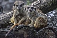 Ett par av meerkats Fotografering för Bildbyråer