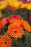 Ett par av orange gerbara` s Royaltyfria Foton